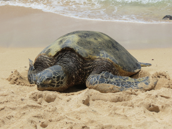 Green Sea Turtles Basking in the Sun on a Hawaiian Beach