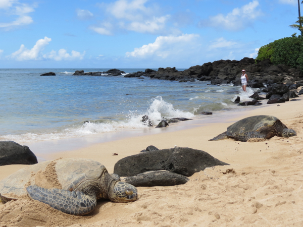 Farmers Only Reviews >> Turtles on Laniakea Beach - Food Wine Travel