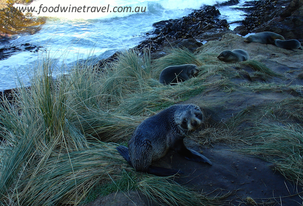www.foodwinetravel.com.au, Food Wine Travel, Nature's Wonders, Dunedin, New Zealand, things to do in Dunedin, things to see in Dunedin, Dunedin attractions,