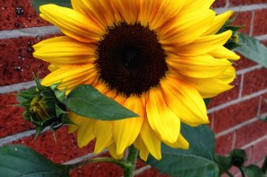 Australia Day, sunflowers, www.foodwinetravel.com.au, Food Wine Travel, Christine Salins