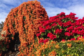 www.foodwinetravel.com.au, Postcard of the Week, orange trumpet vine, poinsettia, Old Museum, Brisbane gardens.