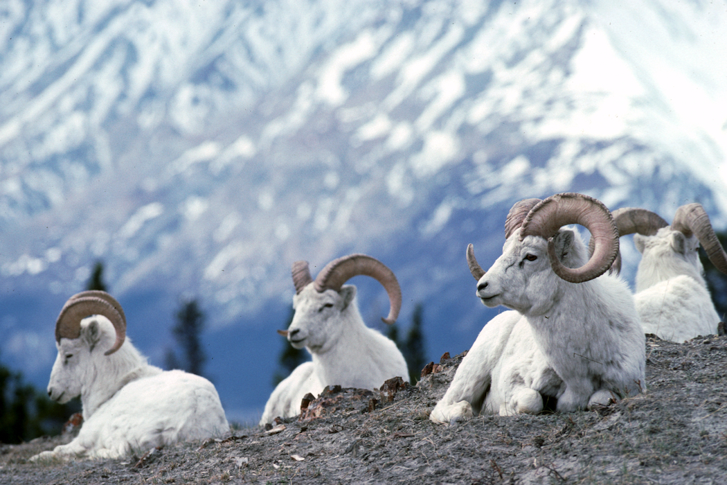 Dall Sheep Yukon Kluane National Park Credit Government of Yukon