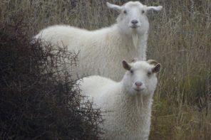 Nanny Goat Vineyard Central Otago New Zealand