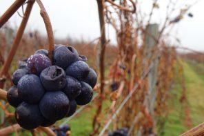Nanny Goat Pinot Noir Grapes