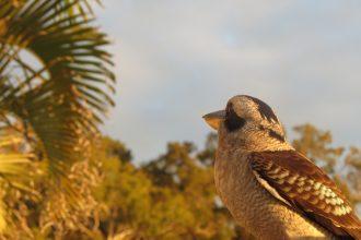 Kookaburra Freeding, Tangalooma Island Resort, Moreton Island, Queensland
