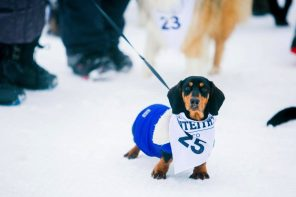Rocky-ready-to-race-at-the-Monteiths-Dog-Derby-2017-JG
