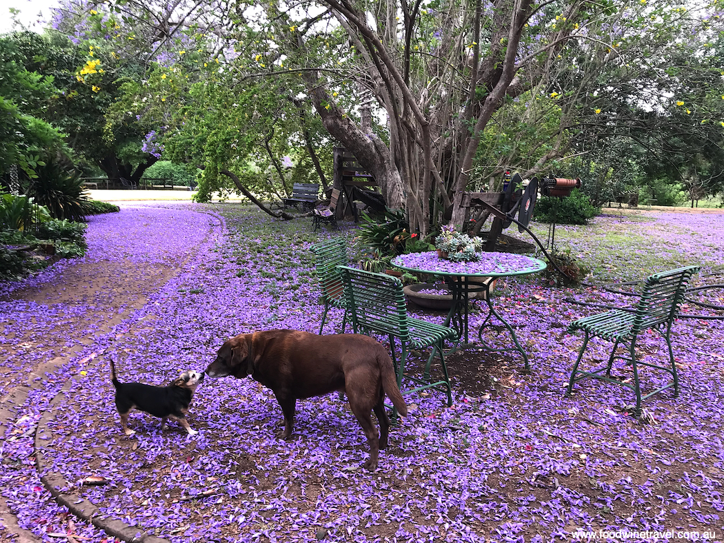 Jacarandas in bloom at historic Camden Park Estate.