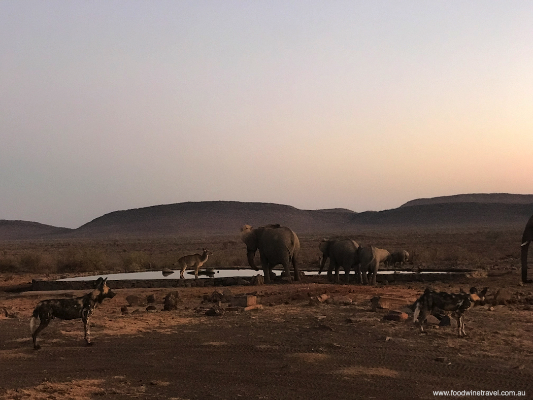 Wild dogs in a dramatic stand-off with elephants in Madikwe Game Reserve.