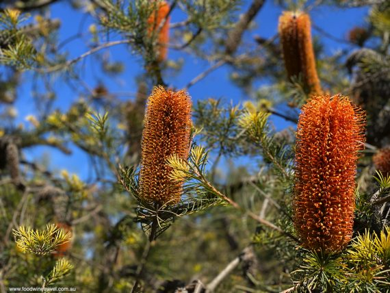 Banksias are one of Australia's most distinctive wildflowers.