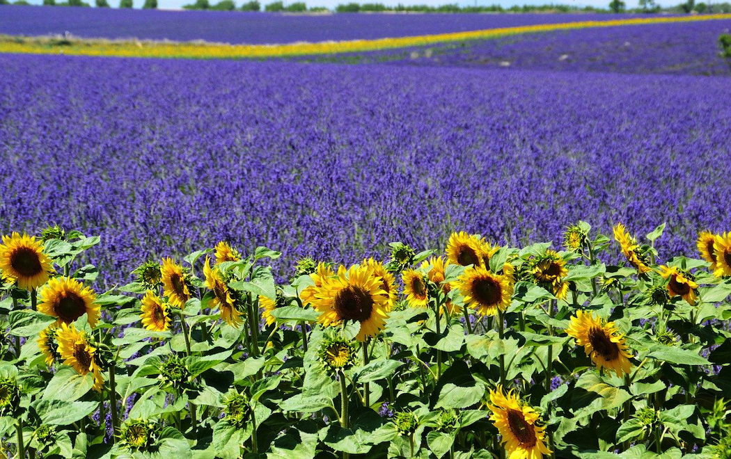 The sunflowers and lavender fields of Provence feature on Destination Artisans' small group tour.