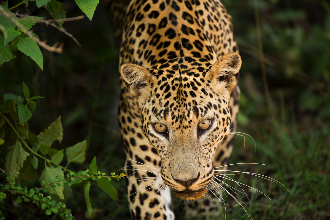 Sri Lanka is rich with wildlife and Classic Sri Lanka can design unforgettable experiences.