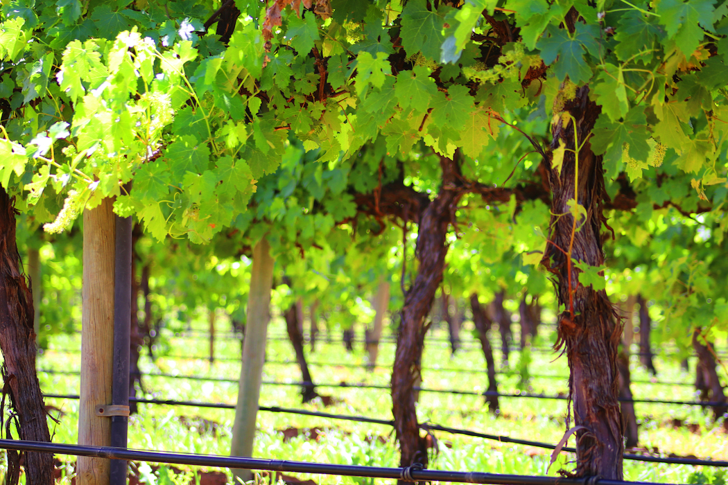 Salena Estate in the Riverland is one of the largest producers of organic wine in Australia.