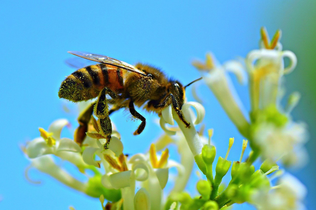 Bees play a crucial role in the survival of the world's ecosystems. Image by Mabel Amber from Pixabay.