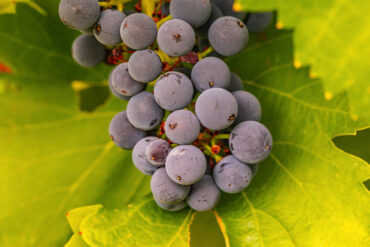 Grenache has flavour, character and complexity. Photo credit: Ben Heide, Patritti Wines.