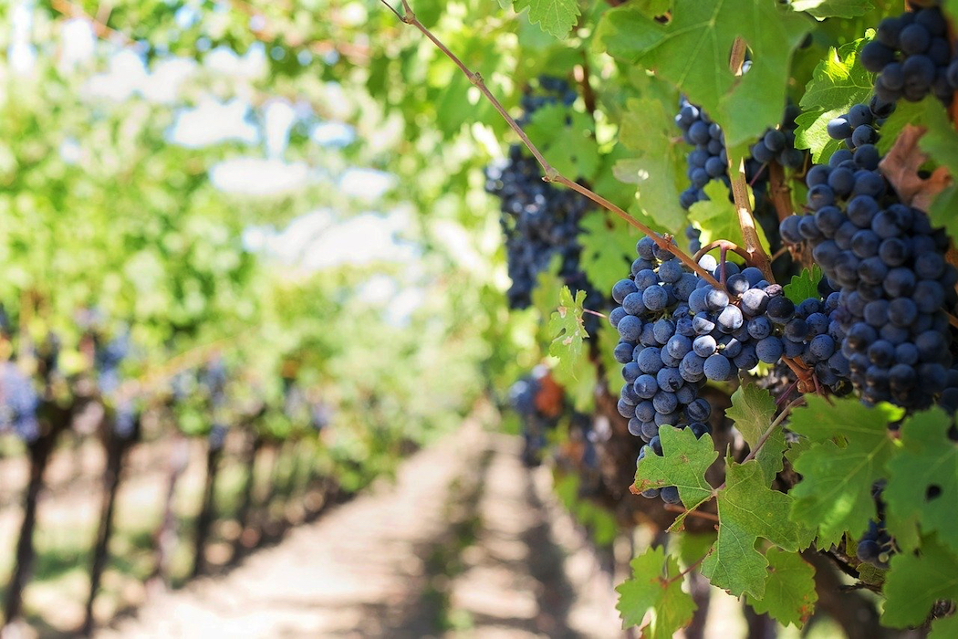 A small number of vineyards in Ireland are making wine. (Image: Jill Wellington / Pixabay)